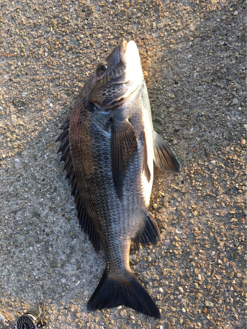 カボさんの投稿画像,写っている魚はクロダイ