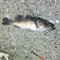HAYATEさんの北海道釧路市での釣果写真