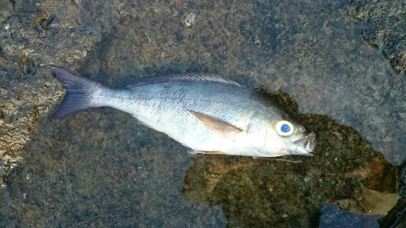 かずくんさんの投稿画像,写っている魚はイサキ
