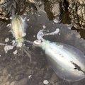Jyoji Yamaguchiさんの佐賀県東松浦郡でのアオリイカの釣果写真