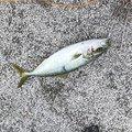 トシさんの青森県でのワラサの釣果写真