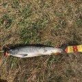 シュウさんの青森県下北郡での釣果写真