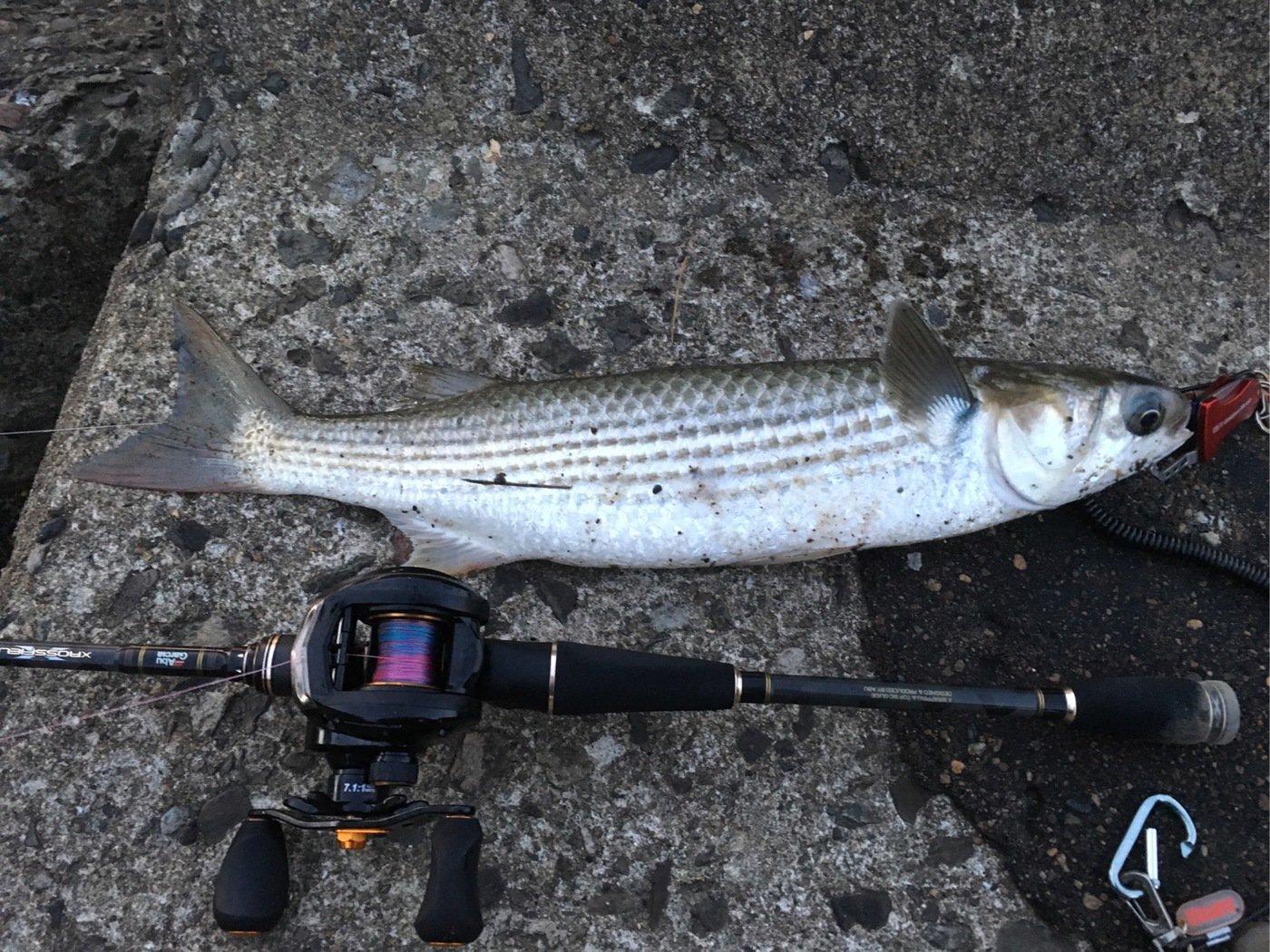 ちゃんたかさんの投稿画像,写っている魚はボラ