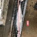 マリンマリンマリンさんの福岡県福岡市でのサワラの釣果写真