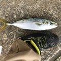 磯野なまこさんの新潟県村上市での釣果写真
