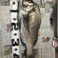 フルフルさんの熊本県天草郡でのクロダイの釣果写真