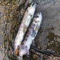 釣りジャンキーさんの大分県豊後大野市での釣果写真