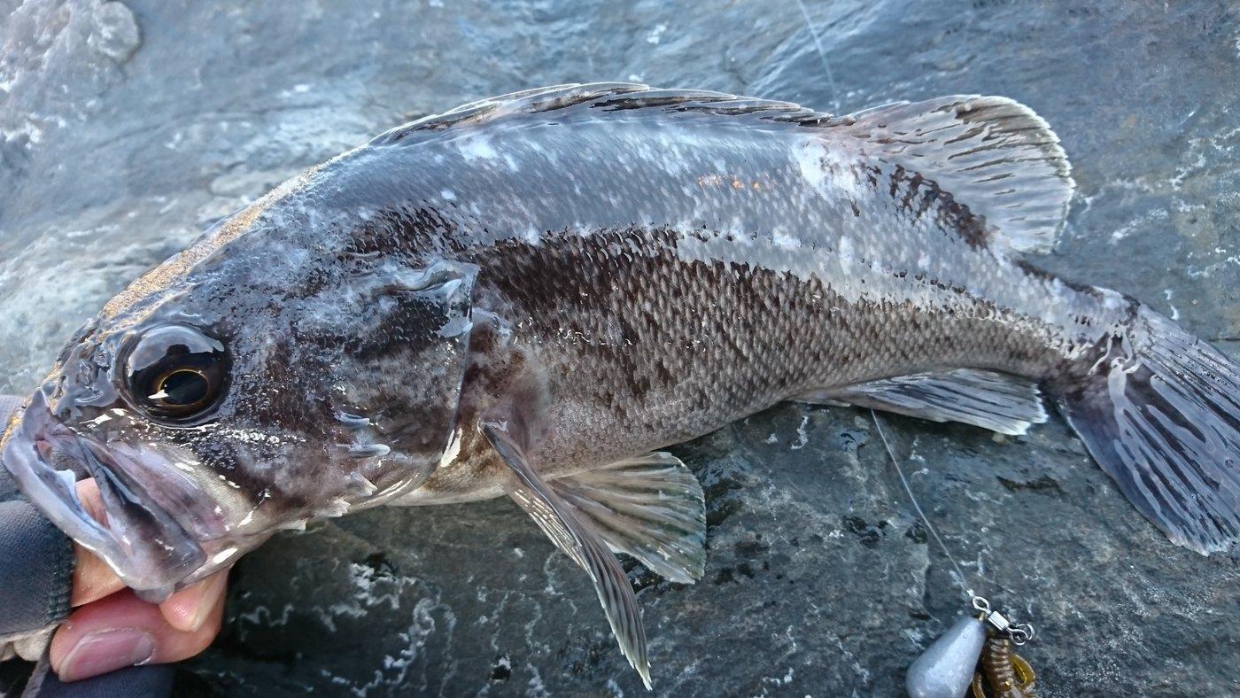 kenchang hさんの投稿画像,写っている魚はクロソイ