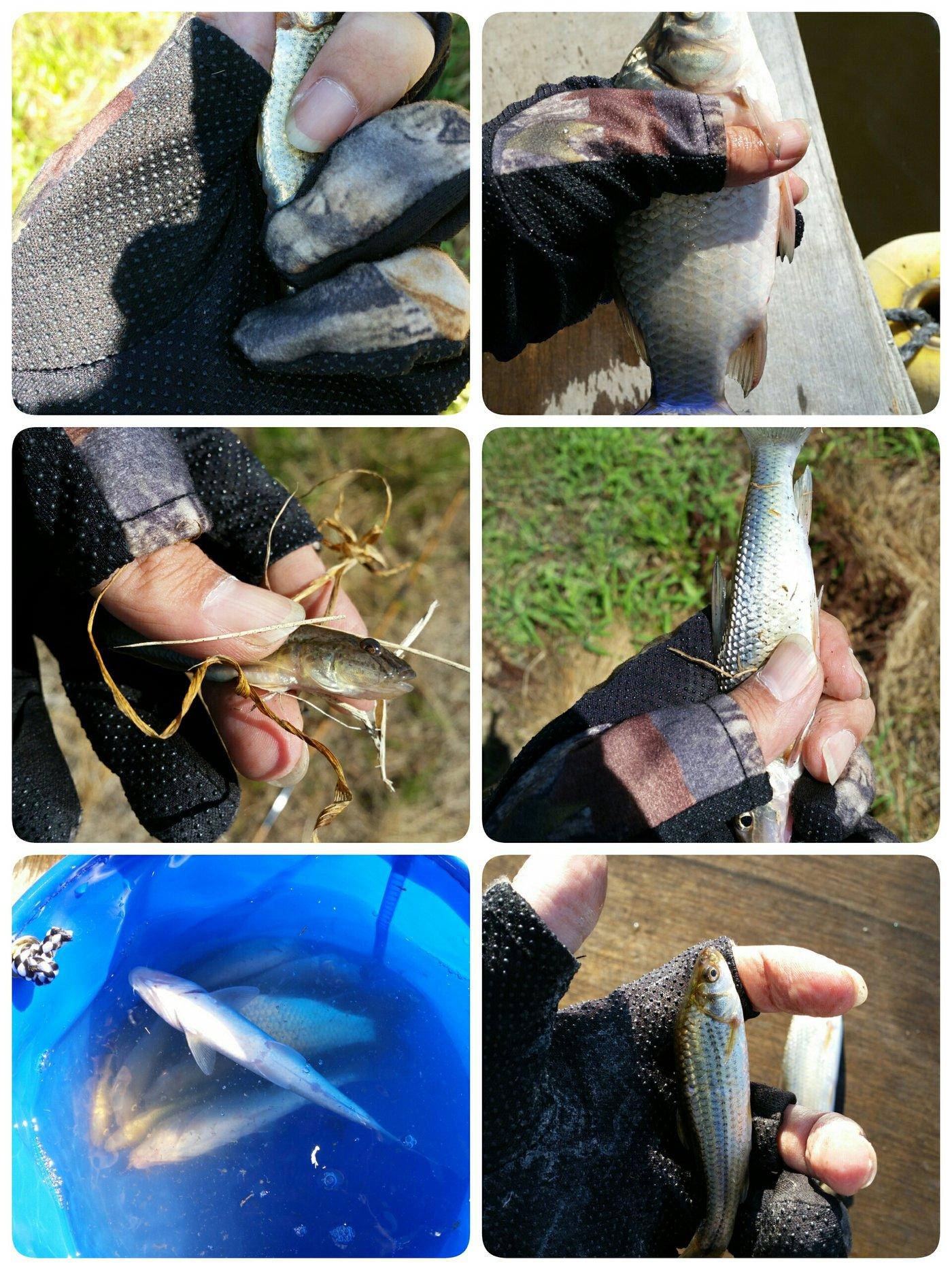 しんパパさんの投稿画像,写っている魚はマハゼ
