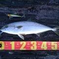 小宮 大輔(ツランバ)さんの長崎県対馬市でのヒラマサの釣果写真