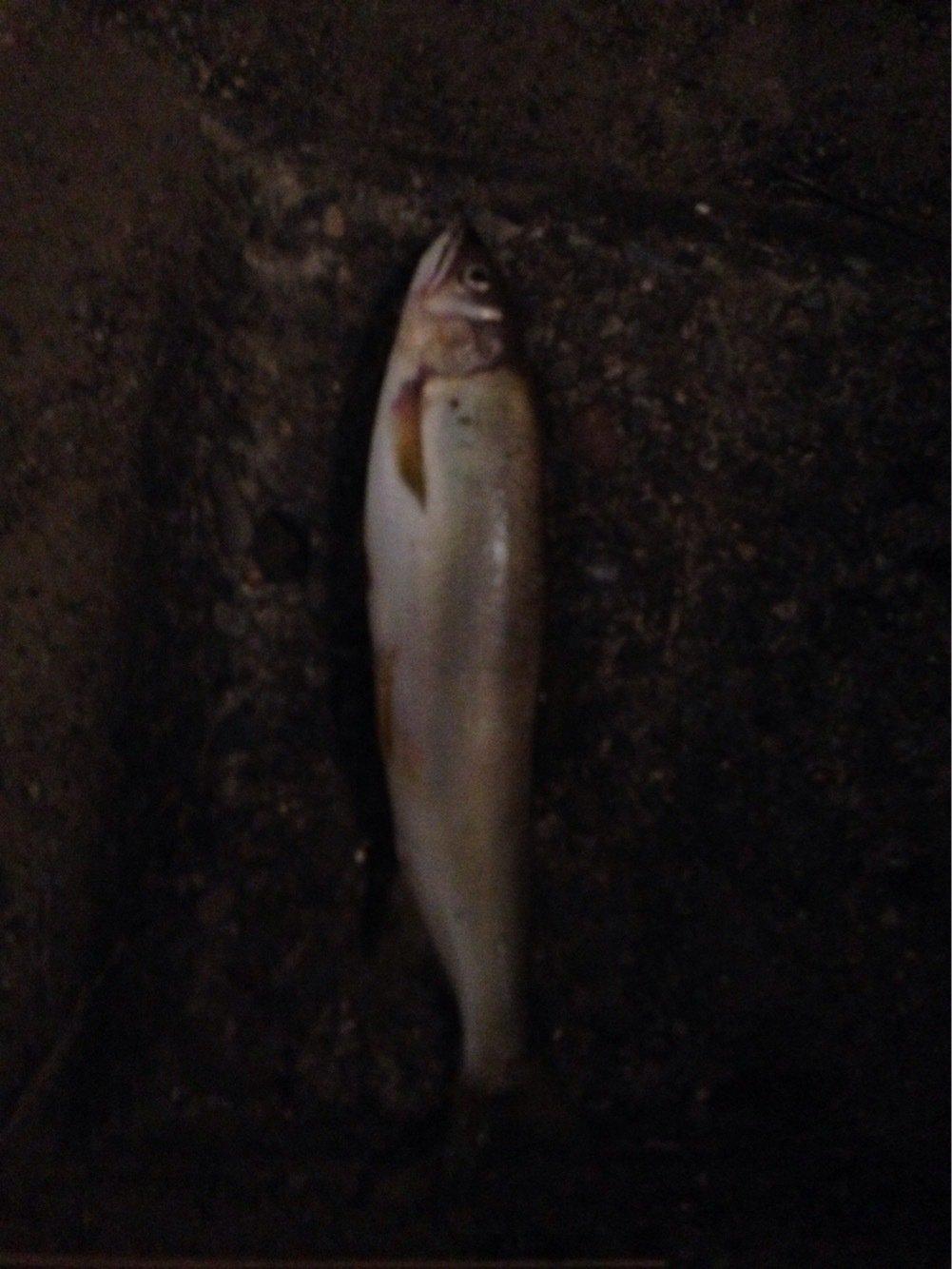 ヒルネさんの投稿画像,写っている魚はアユ