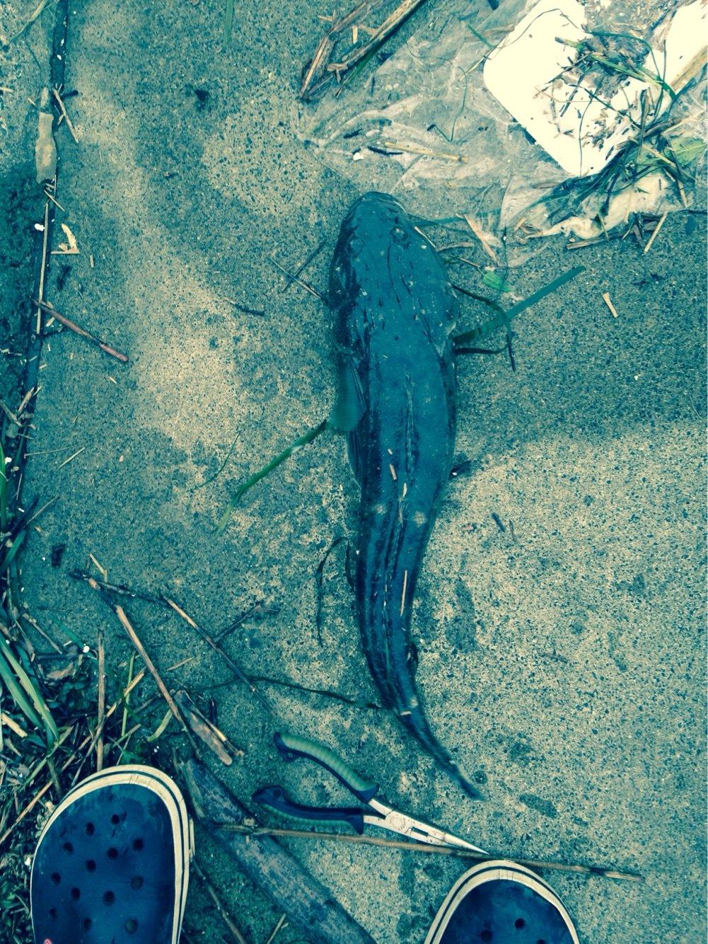 ヒキジリさんの投稿画像,写っている魚は
