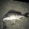 ソコトレタカさんの広島県でのクロダイの釣果写真