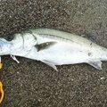 ヨッシーさんの山形県飽海郡での釣果写真