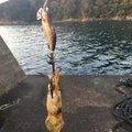 サイトウタクヤさんの京都府舞鶴市での釣果写真