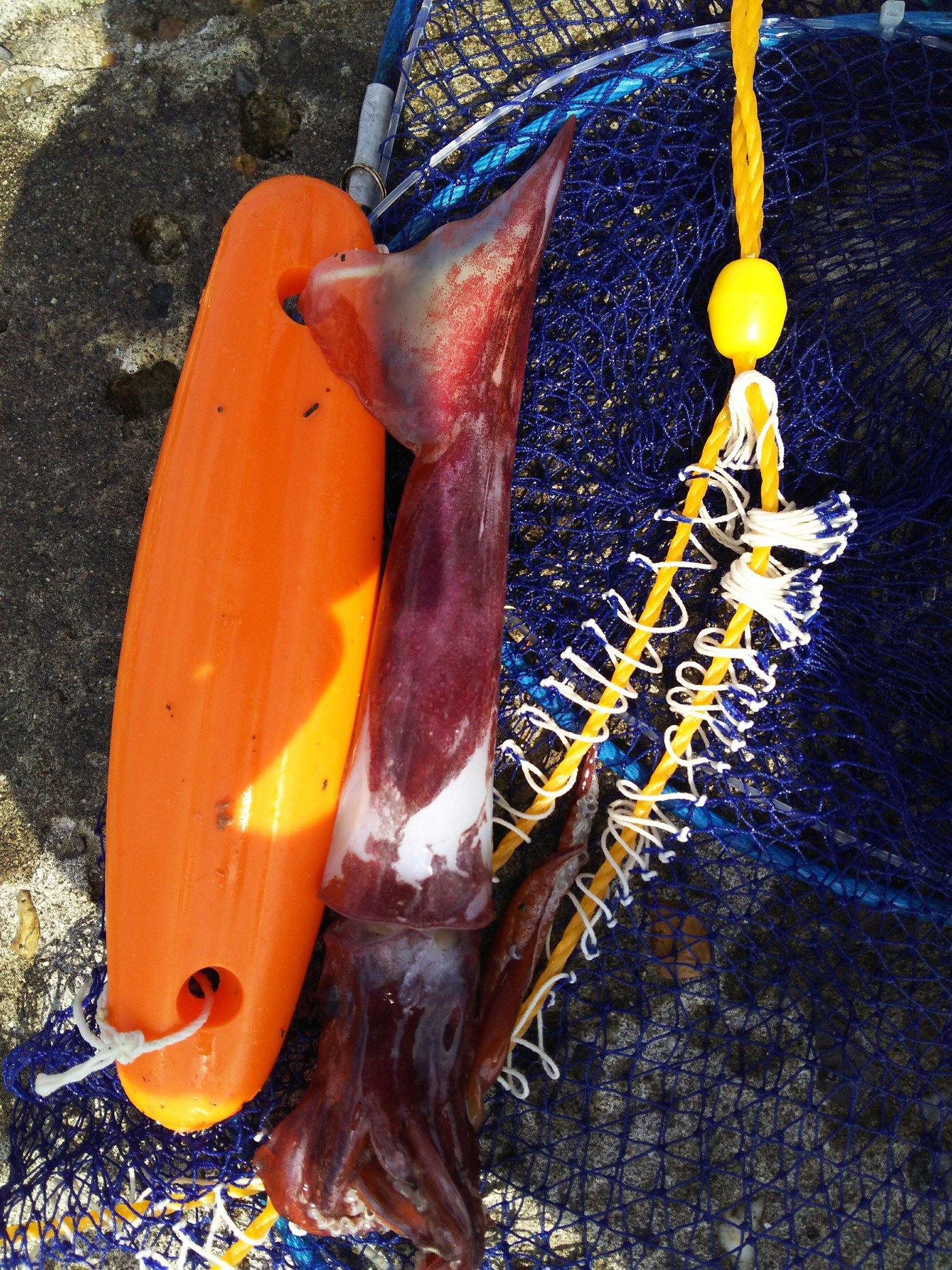 DUKAさんの投稿画像,写っている魚はヤリイカ