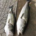 ゆっきーさんの秋田県能代市での釣果写真
