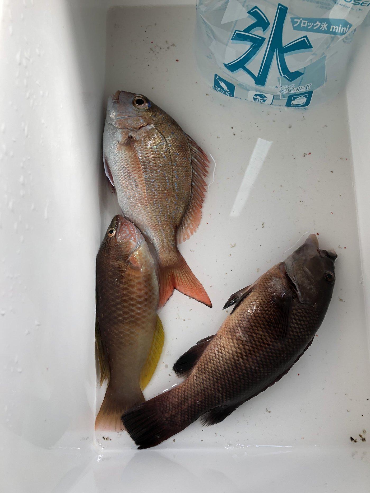 おさちぬさんの投稿画像,写っている魚はマダイ,キュウセン