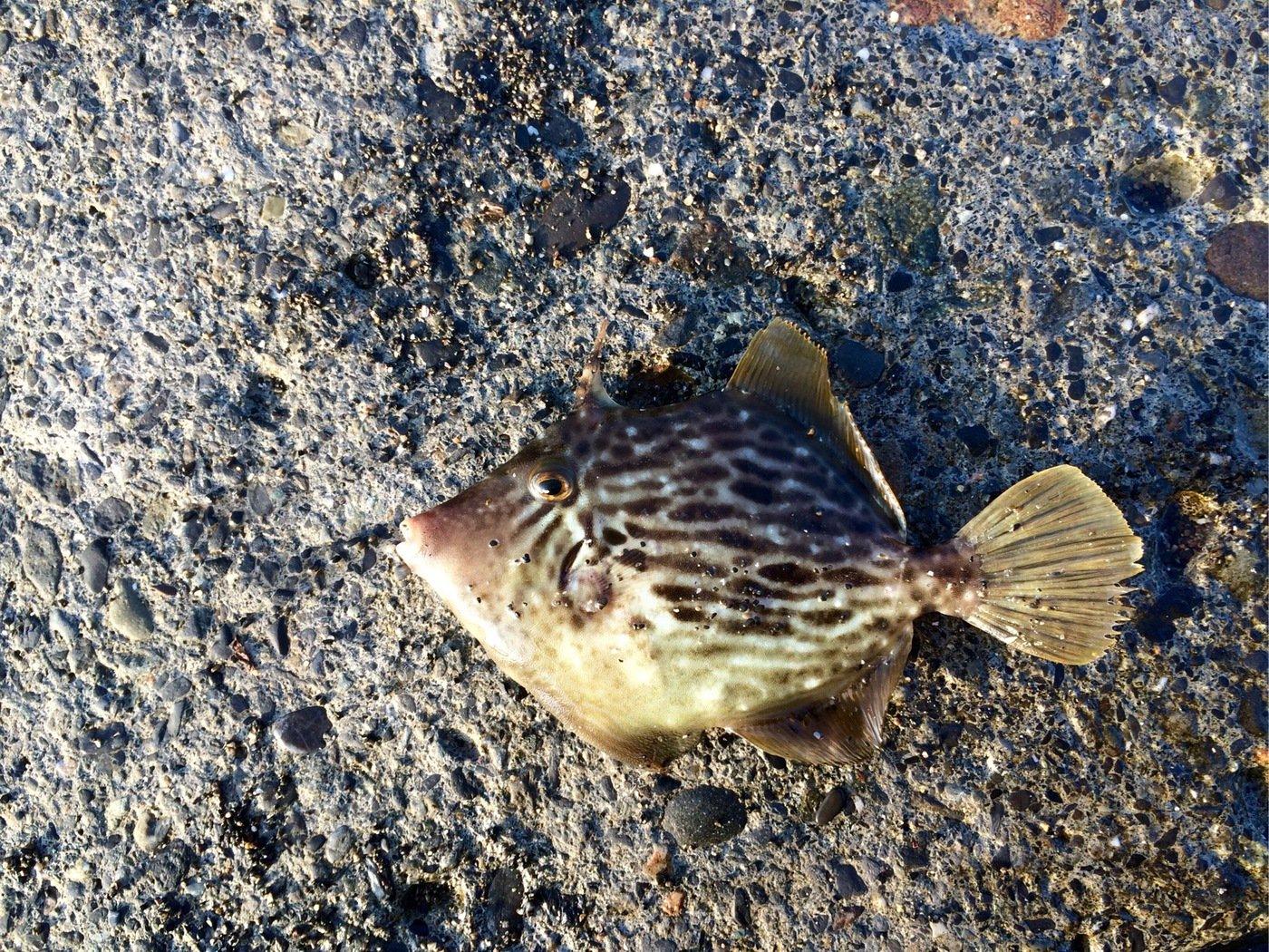 ヒロッシーさんの投稿画像,写っている魚はカワハギ