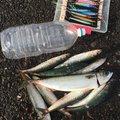 ニシさんの北海道函館市での釣果写真