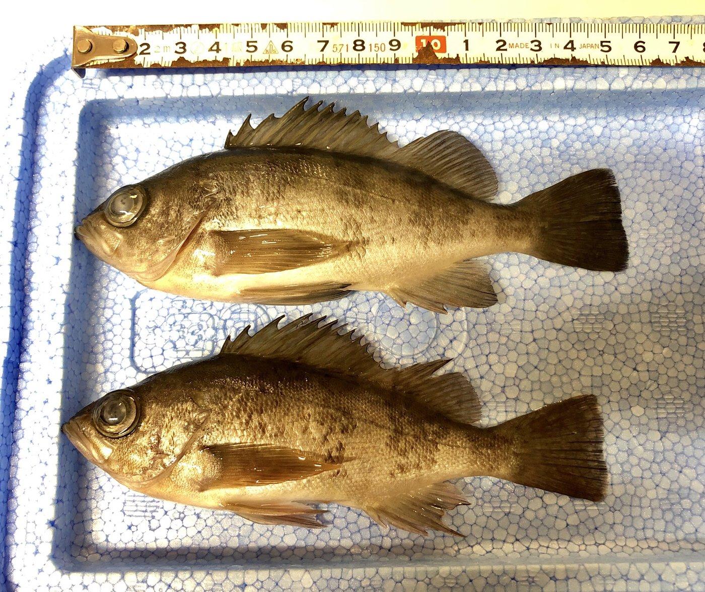 sjさんの投稿画像,写っている魚はメバル