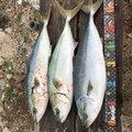 ワダさんの香川県東かがわ市での釣果写真