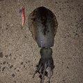 ちゃんともさんの長崎県北松浦郡でのアオリイカの釣果写真