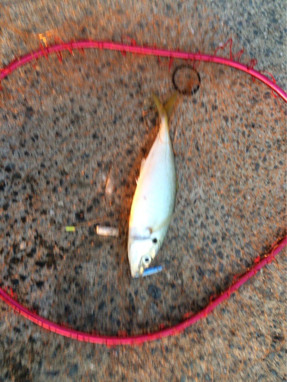 natumizuさんの投稿画像,写っている魚はアジ