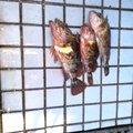 大漁さんの三重県四日市市でのカサゴの釣果写真