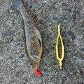 (・×・)みみみ~↑さんの愛知県知多郡でのアイナメの釣果写真