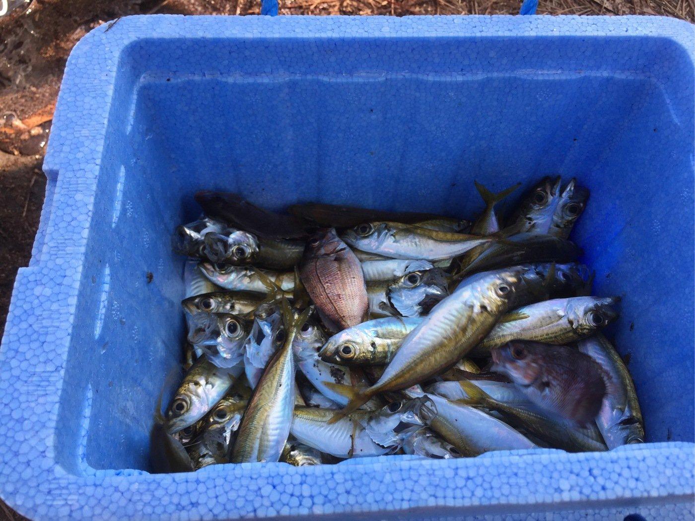 汚物さんの投稿画像,写っている魚はアジ