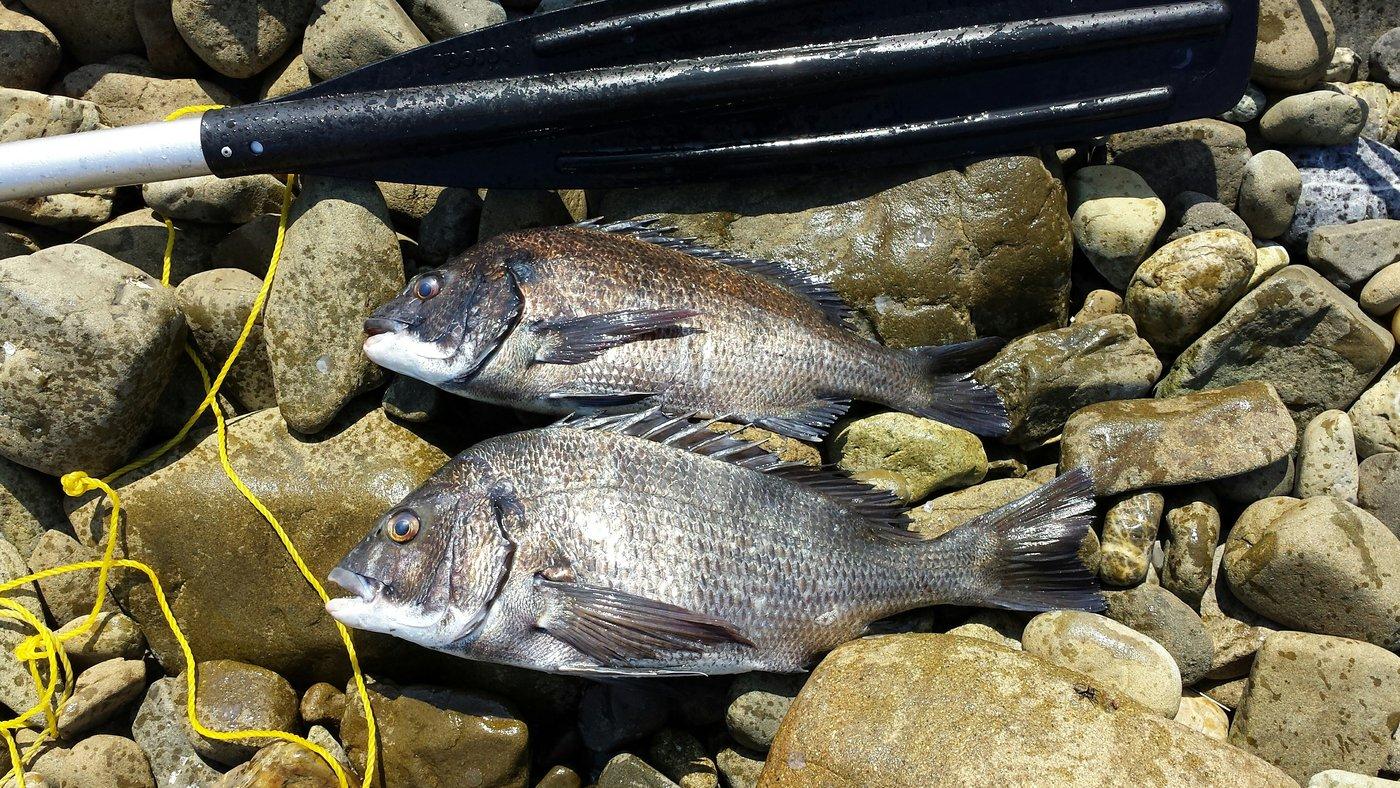 ヤマロボナマズンXさんの投稿画像,写っている魚はクロダイ
