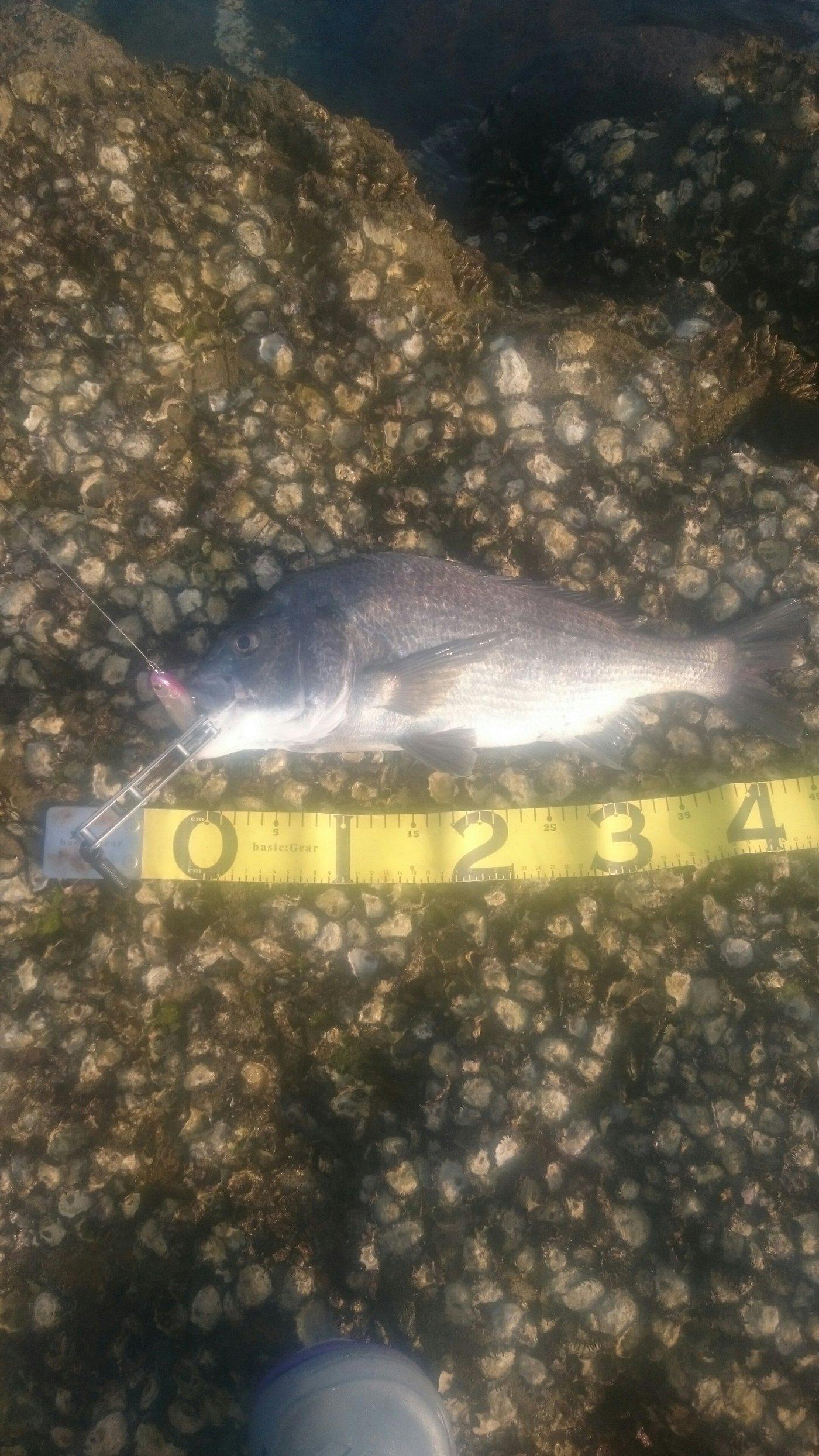 フルタカさんの投稿画像,写っている魚はクロダイ