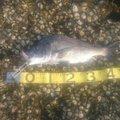 フルタカさんの熊本県天草郡でのクロダイの釣果写真
