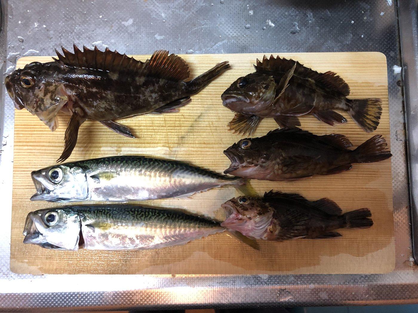 こばさんの投稿画像,写っている魚はマサバ,カサゴ