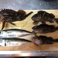 こばさんの三重県四日市市でのカサゴの釣果写真