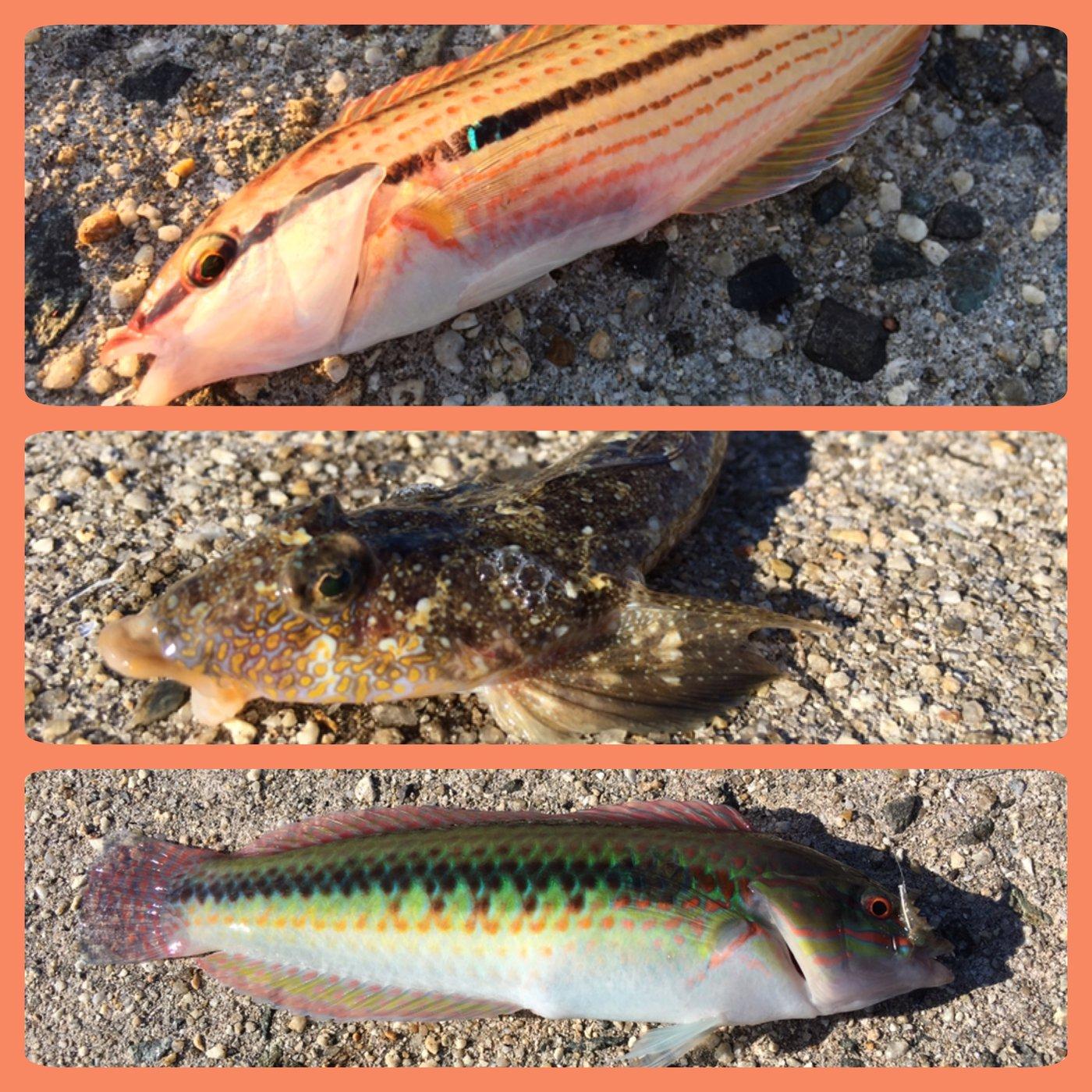 のっっっちさんの投稿画像,写っている魚はキュウセン,コチ