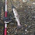 釣り馬鹿さんのアメマスの釣果写真