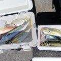 あべしさんの静岡県静岡市でのマサバの釣果写真