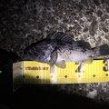 とんびさんの青森県青森市でのソイの釣果写真