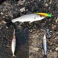ひでゅきさんの三重県桑名郡での釣果写真