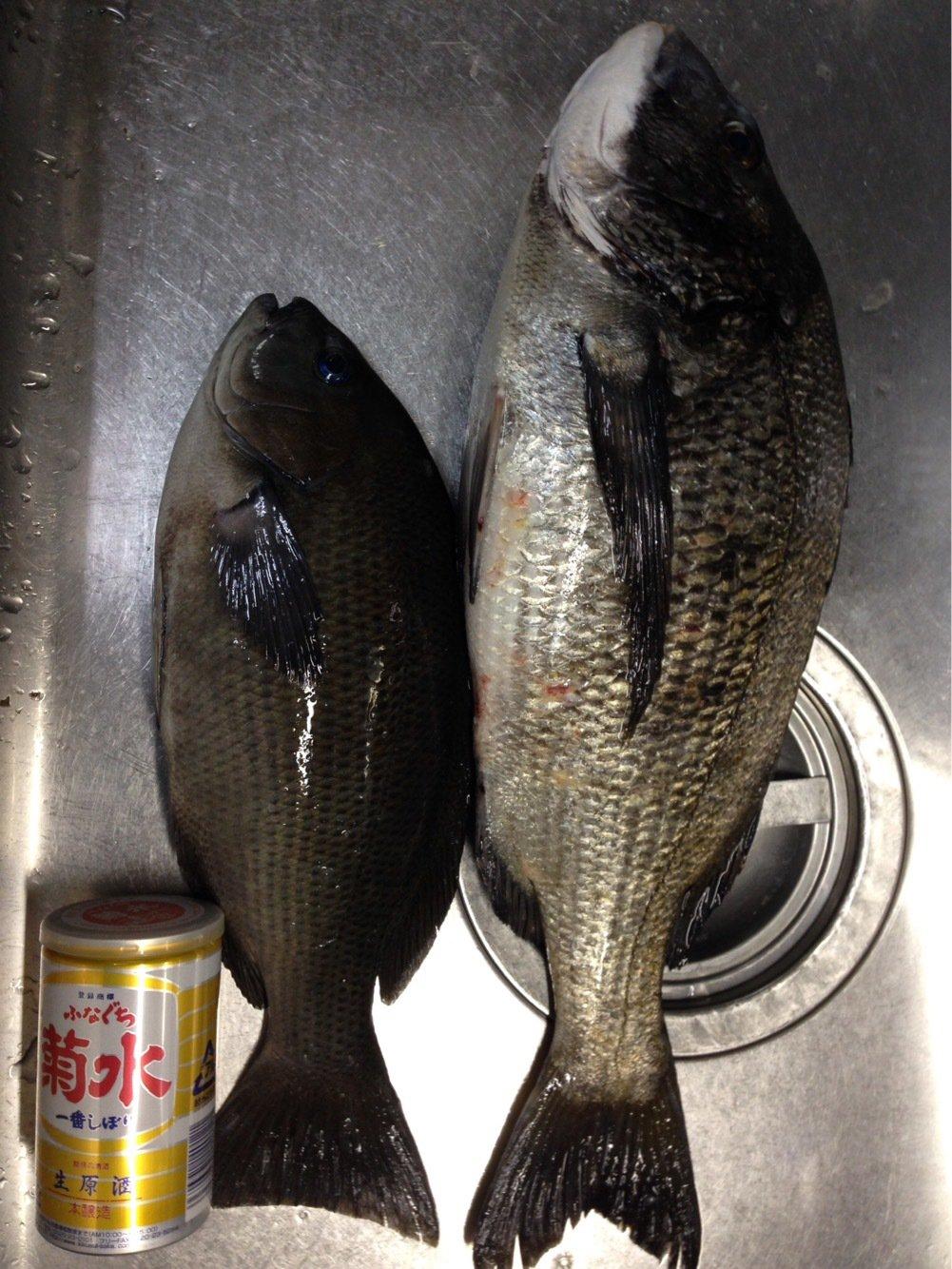 まえださんの投稿画像,写っている魚はクロダイ