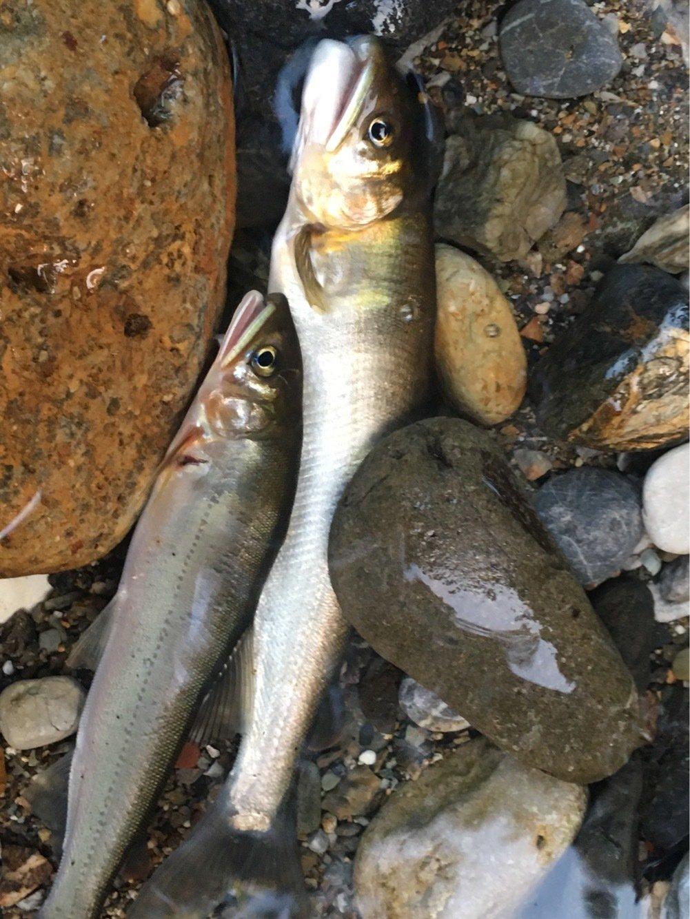 グランダーさんの投稿画像,写っている魚はアユ