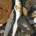 グランダーさんの岐阜県山県市での釣果写真