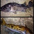 ビギにゃーさんの青森県青森市でのアイナメの釣果写真