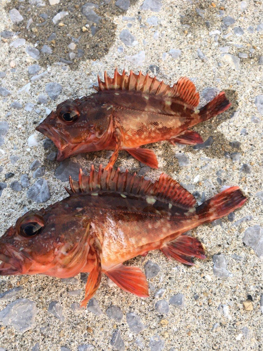 ask11さんの投稿画像,写っている魚はカサゴ