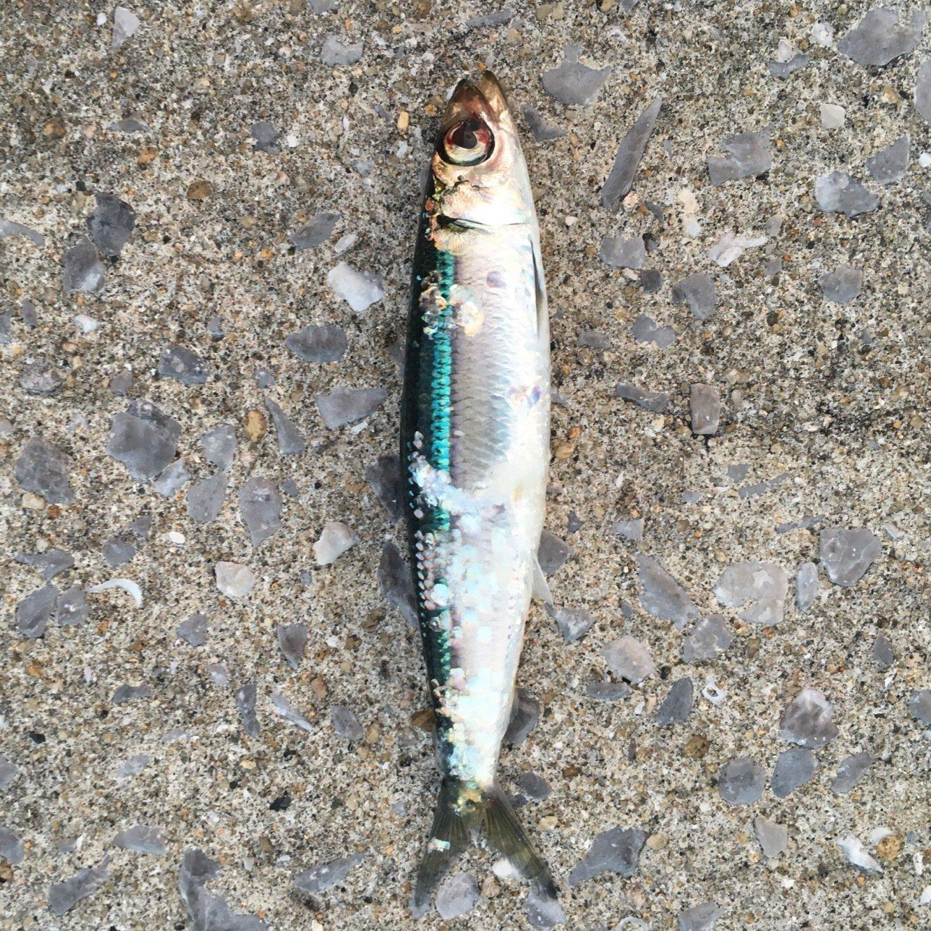 ask11さんの投稿画像,写っている魚は