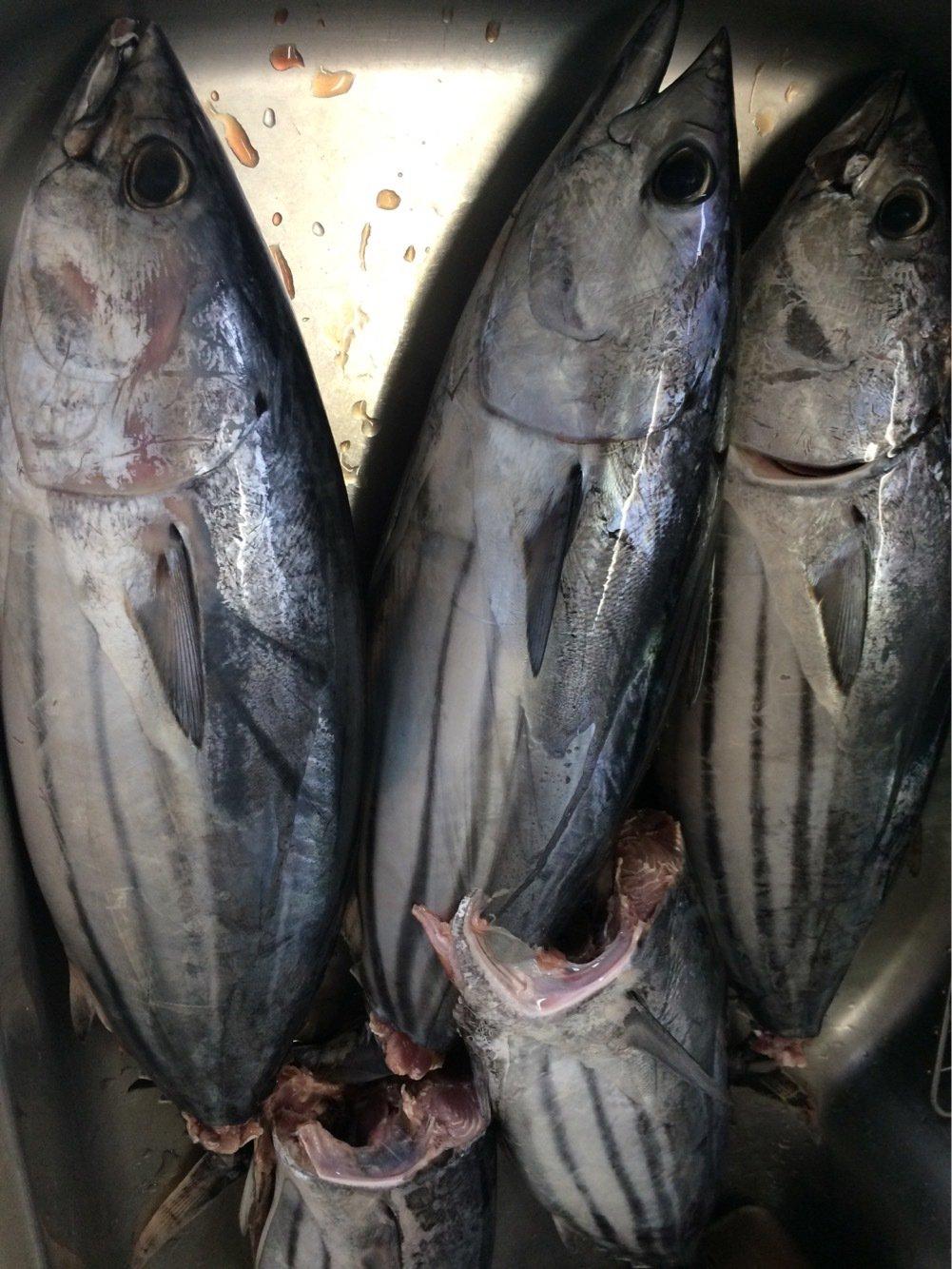 fish hunter 3号さんの投稿画像,写っている魚はカツオ