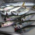 かずくんさんの大阪府でのタチウオの釣果写真