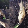 亀さんの島根県安来市でのスズキの釣果写真